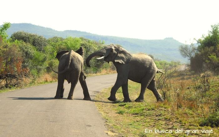 Dos elefantes jugando con sus trompas en medio del ca
