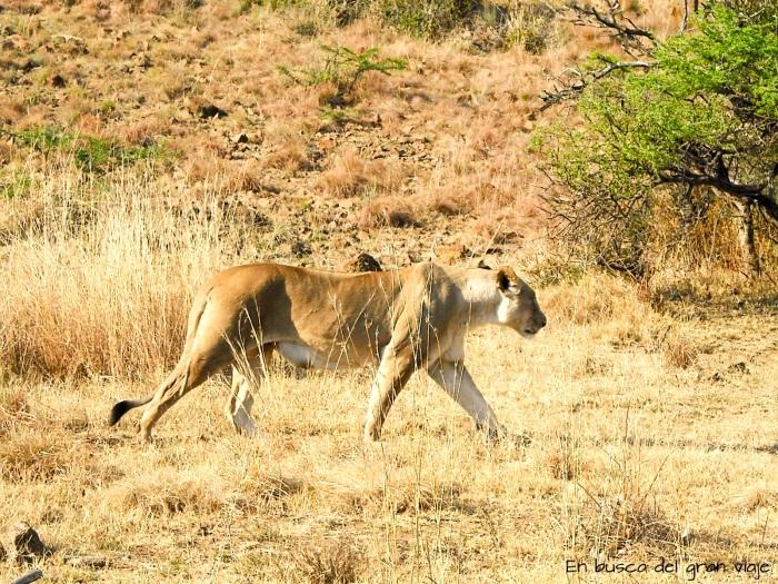 Una leona caminando por la sabana africana