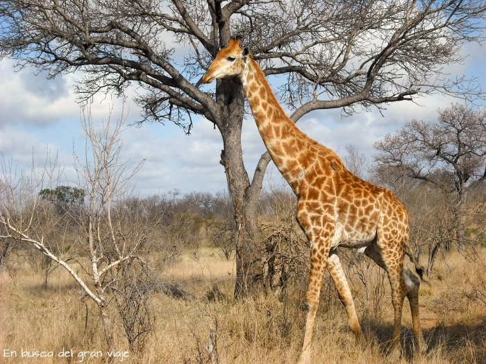 Una jirafa solitaria paseando por el Parque