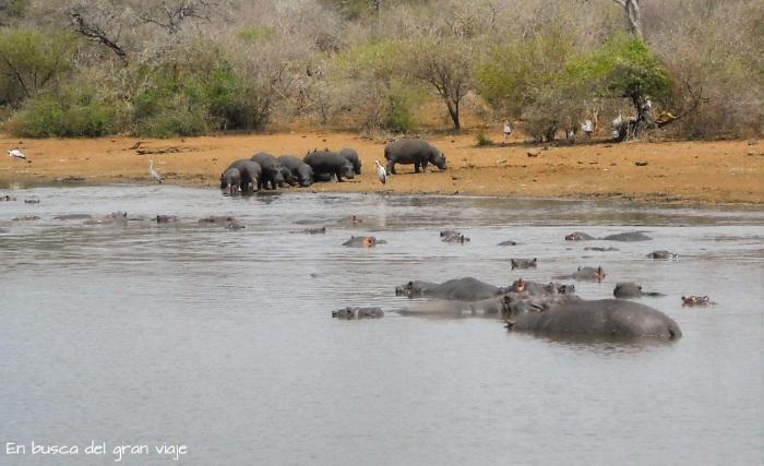 Un grupo entero de hipopótamos bañando