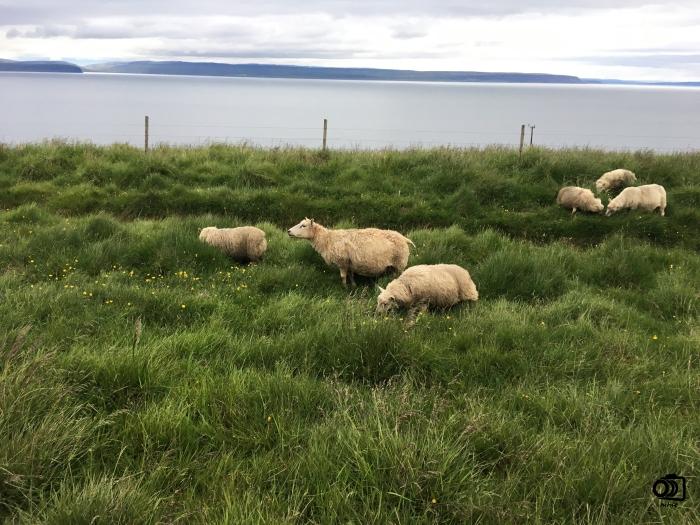 islandia-ovejas