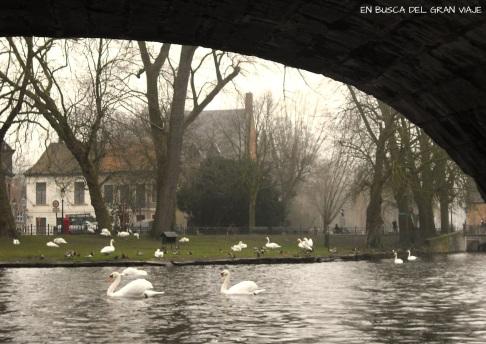 Cisnes desde la barca